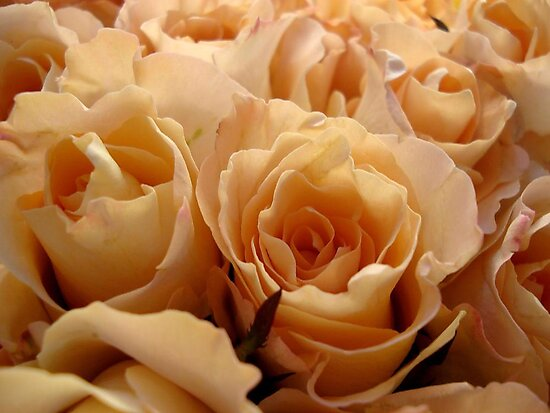 Apricot roses by May Lattanzio