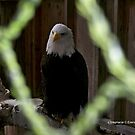 Bald Eagle In Rehabilitation by Stephanie Exendine