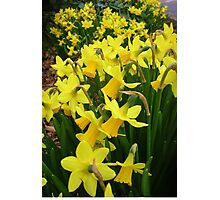 """""""A Host Of Golden Daffodils"""" Photographic Print"""
