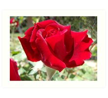 Red rose of summer Art Print