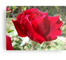 Red rose of summer Metal Print