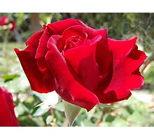 Red rose of summer Photographic Print