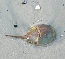 Horseshoe Crab by MaryinMaine