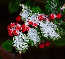 Snow On the Holly by Kathy Weaver