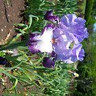Purple Spring Iris Flower by josunshine