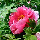 Pink Peony Flower by josunshine