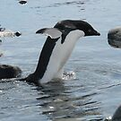 Adelie penguin taking a stroll by Rob Emery