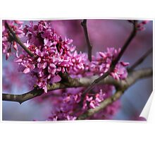 REDBUD tree in glorious Spring color!!  Poster