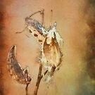 Milkweed Pods by KathleenRinker