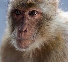 Gibraltar Macaque Portrait by Marc Garrido Clotet