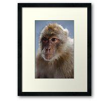Gibraltar Macaque Portrait Framed Print