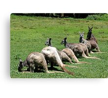Kangaroos in a row at Coffs Harbour Canvas Print