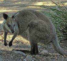 Kangaroo  by Tom Newman