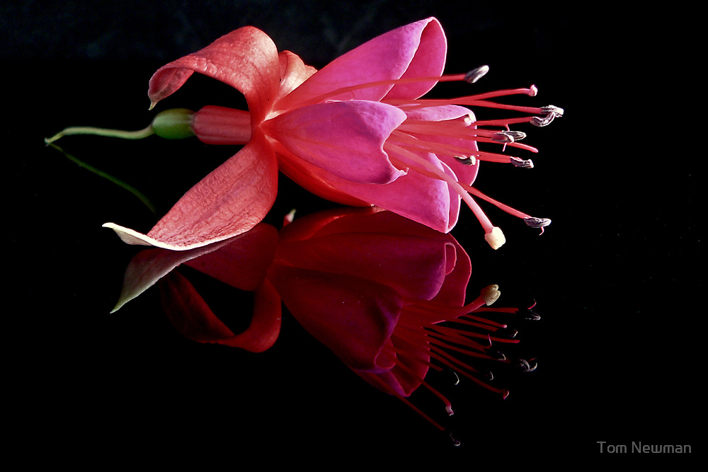 Fuchsia In Reflection by Tom Newman