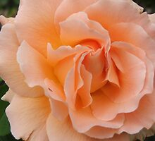 Rose (4402) by ScenerybyDesign