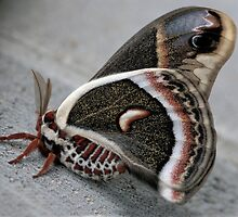 Cecropia Moth by Robert deJonge