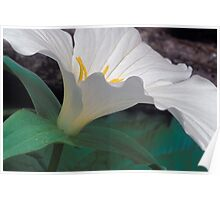 A trillium blooms in the Sleeping Bear Dunes National Lakeshore Poster
