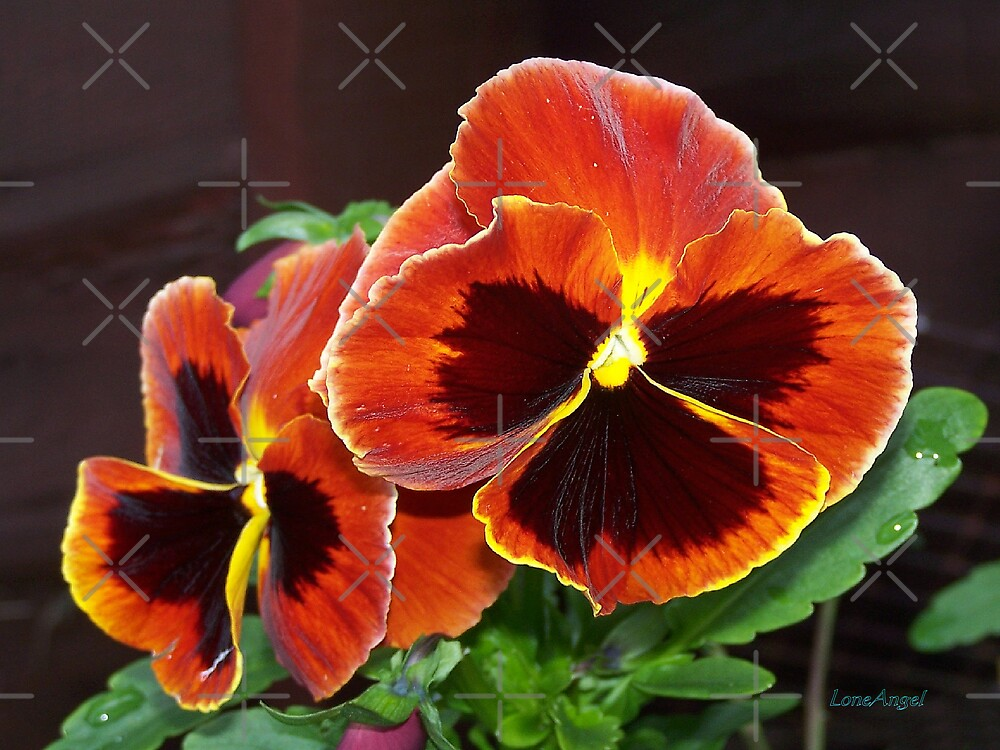 Fire Pansy by LoneAngel