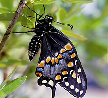 A Newly Hatched Black Swallowtail by Robert deJonge