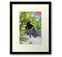 A Newly Hatched Black Swallowtail Framed Print