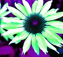 The Psychedelic Echinacea by Stephen Walton