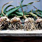 A Row of Garlic by Teri Argo