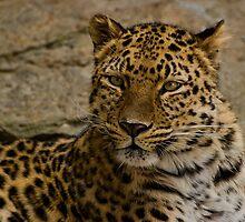 leopard by KathleenRinker