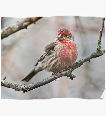Winter Finch Poster