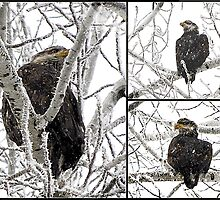 Bald Eagle by Susan Vinson