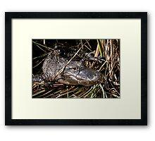 How Many Gators Do You See? Framed Print