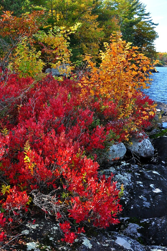Highbush Blueberry, Lake Muskoka by Nancy Barrett
