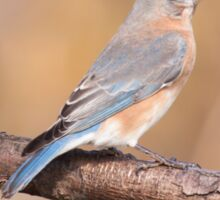 Eastern Bluebird Sticker