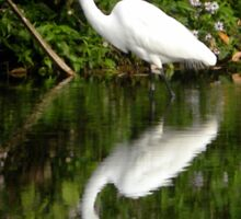 Great White Heron Hunting at Homosassa Springs Sticker