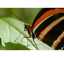 Banded Orange Butterfly on Flower Photographic Print
