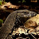 Lace Monitor, Daintree Rainforest by panvorax
