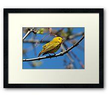 Male Yellow Warbler Framed Print
