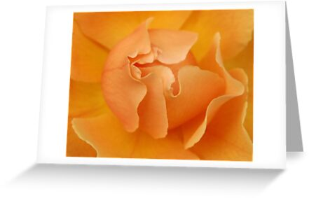 Rose Glow by photosbytony