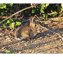 Cotton Tail Photographic Print