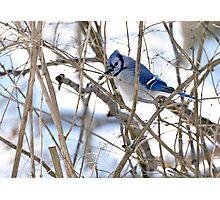 Blue Jay 2 Photographic Print