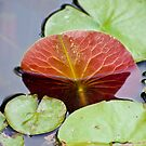 Lilly Pad by Jason Dymock Photography