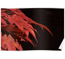 chinese maple Poster