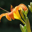 Finally, My First Day Lily of 2015 by trueblvr