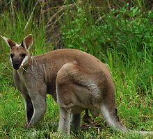 Agile Wallaby by Geoff Beck
