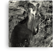 Skippy Canvas Print