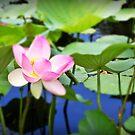 Sacred Lotus, Adelaide Botanic Gardens by Barb Leopold