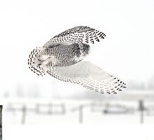 Female Snowy Owl Mid Take-off by Ron Kube