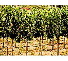 California Fall Vineyard Photographic Print