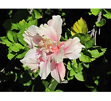 Lord Howe Island Hibiscus Photographic Print