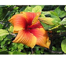 Lord Howe Island Hibiscus Flowers Photographic Print