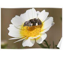 Pale Shoulder moth Poster